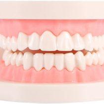 1pcs PVC Dental Care Model Dentist Adult Teeth Standard Teaching Model