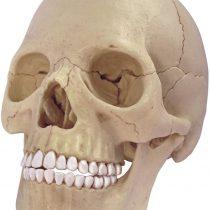 40MASTER Human Anatomy Skull Model